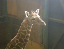 【news】パンダだけじゃない!約5年ぶり誕生の動物の赤ちゃん、一般公開スタート