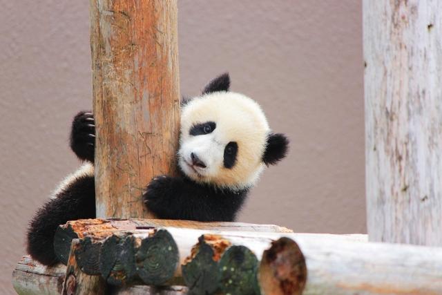 動物園で不動の人気!絵本でパンダを楽しもう!