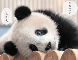 【新刊ニュース】もふもふパンダにいやされる学習参考書発売!シャンシャン、彩浜、赤ちゃんパンダ写真がたっぷり